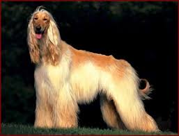 afghan hound trainability afghan hound information and pictures afghan hounds