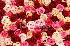 multicolored roses carpet of multicolored roses stock photos freeimages