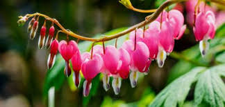 growing bleeding hearts how to care for a bleeding heart plant