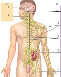 Anatomy And Physiology Of The Back Nerves Of The Back Anatomy Understanding The Anatomy Of The Spine