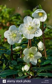 helleborus niger u0027christmas carol u0027 black hellebore winter flower