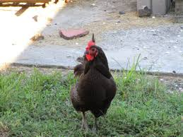 are backyard chickens legal in orleans and jefferson parish