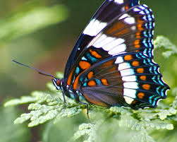canadian blue orange white black and brown butterfly