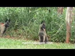 belgian sheepdog for sale philippines dutch shepherd k9 puppies for sale youtube