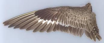 Bird Wing - description of the hudsonian godwit