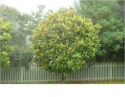 evergreen trees tree nursery western australia trees