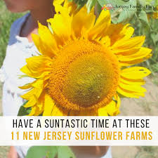 have a suntastic time at these 11 new jersey sunflower farms