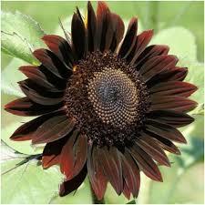 chocolate sunflower seeds helianthus annuus u2013 seed needs