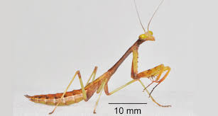 how a praying mantis makes a precision leap science