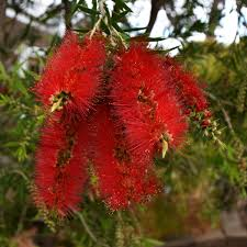 native aussie plants free images nature blossom flower bush foliage green red