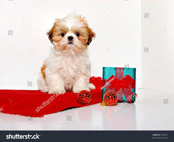 puppy shih tzu puppy stock photo 7005751