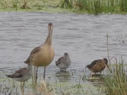 shorebirds u2013 prairie birder