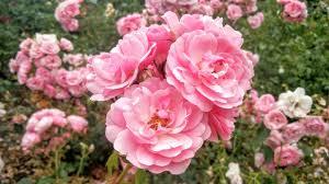 promise of a rose garden kew