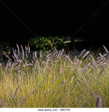 grass plume stock photos grass plume stock images alamy