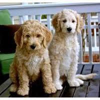 goldendoodle puppy virginia local dogs puppies in virginia