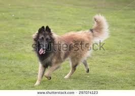 belgian sheepdog tervuren belgian tervuren stock images royalty free images u0026 vectors