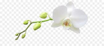 white orchids moth orchids white haiku an anthology of japanese poems clip
