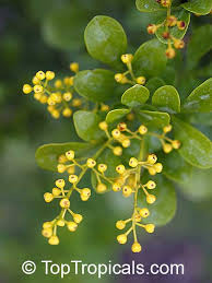 Most Fragrant Plants - toptropicals com rare plants for home and garden