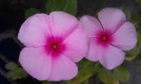 native plants madagascar catharanthus roseus the madagascar periwinkle youtube