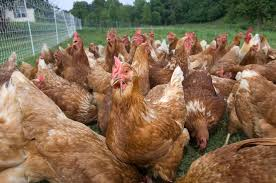 golden comet baby chickens for sale cackle hatchery