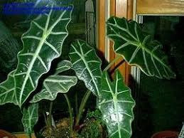 introduction to exotic foliage houseplants dave u0027s garden