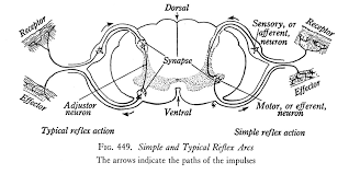 How Does A Reflex Arc Work In A Nervous System Reflex Arcs And The Root Of Dysfunction U2014 Healing And Strength