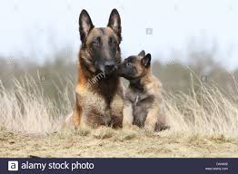 belgian sheepdog breeds dog belgian shepherd malinois and puppy stock photo royalty