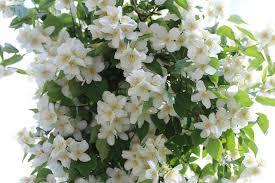 White Flowering Shrub - philadelphus u0027avalanche u0027 mock orange