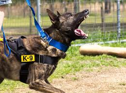 belgian shepherd or malinois protection dog training clip dutch shepherd x belgian malinois