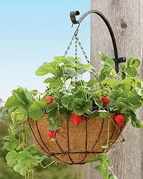 strawberry success kit hanging planter buy from gardener u0027s supply