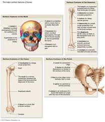 Parts Of The Face Anatomy The Skeletal System
