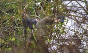burglary suspect in tree finally comes the today file