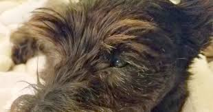 affenpinscher ottawa two little square black dogs square dog friday mandibles