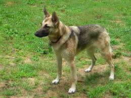 belgian sheepdog for adoption available dogs browse