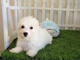 poodle vs bichon frise the most playful bichon frise in california san diego puppy