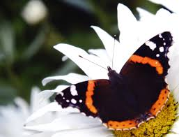butterfly on a flower photos 1366165 freeimages com