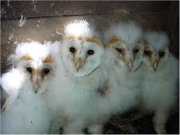 Scientific Name Of Barn Owl The Barn Owl Centre Barn Owl Information The Barn Owl Centre
