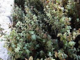 what is native plants ezov wikipedia