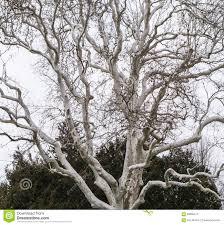 tree with white bark stock photo image 63659474