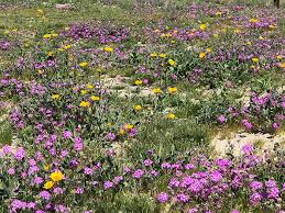 anza borrego super bloom anza borrego desert state park wildflower reports desertusa