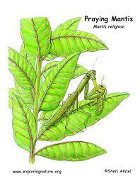 preying mantis inhabitat jpg