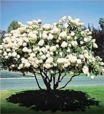 14 best oklahoma garden trees images on garden trees