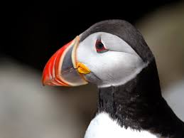 climate change spells peril for puffins updated the national