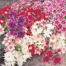 phlox flower phlox twinkle mixed flower seeds d t brown flower seeds