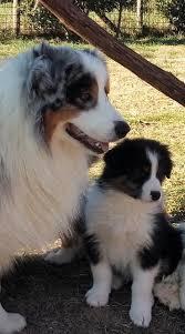 australian shepherd e cavalli allevamento di casa rovai australian shepherd e white shepherd