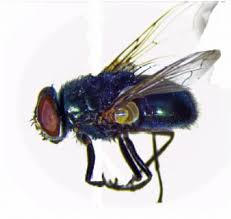Purdue University Map Iupui Maps Genome Of Black Blow Fly May Benefit Human Health