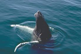 Whale by Whale Sense The Smart Way To Whale Watch Noaa Fisheries