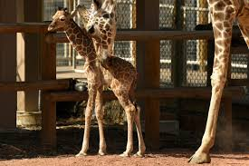 Denver Zoo Lights Coupons by Dobby Denver Zoo U0027s Baby Giraffe Is Staying In Denver