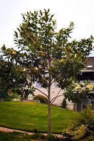 magnolia tree for sale the tree center