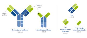 heavy chain light chain vhh single domain antibody production proteogenix